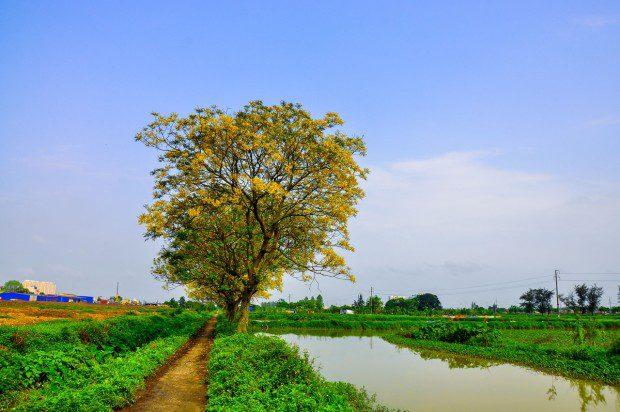 Tại Hà Nội có nhiều con đường trồng điệp vừa làm cây xanh cho bóng mát, vừa ra hoa rất đẹp. Tuy nhiên, con đường điệp vàng vào làng Đa Sỹ từ lâu đã trở nên nổi tiếng bởi hòa nhập với ruộng vườn xanh ngắt xung quanh.
