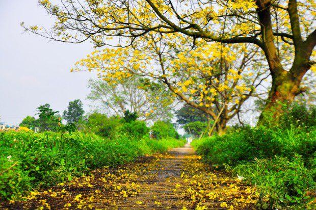 Những cánh hoa rơi theo chiều gió xuống đất như dệt nên một tấm thảm vàng, tạo khung cảnh nên thơ cho các tay máy thỏa sức sáng tác.