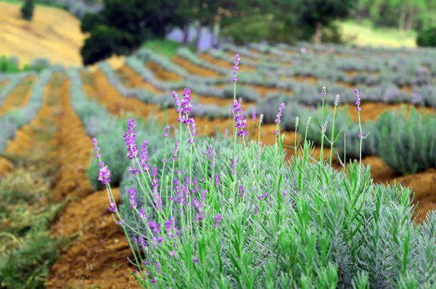 Lavender (oải hương tím) được trồng thành nhiều luống, có khoảng cách an toàn và đủ để cho khách đi vô tham quan và chụp ảnh. Ảnh: Nguyễn Dũng