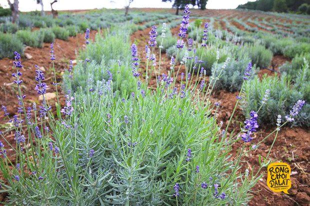 Đồi hoa lavender được trồng trong khuôn viên khu du lịch Lavender Đà Lạt thuộc khu vực hồ Tuyền Lâm (cách trung tâm Đà Lạt khoảng 7km). Tuy cùng nằm trên con đường vào Đường hầm Điêu khắc nhưng khu du lịch Lavender còn khá hoang sơ. Hơn một tháng trước, khu du lịch này mới cho xuống giống cây lavender để phục vụ khách tham quan. Ảnh: Tiến Đà Lạt