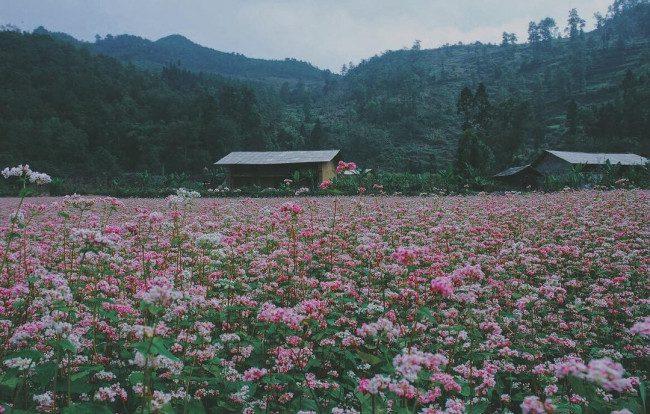 kinh nghiem du lich mua hoa tam giac mach ha giang kpds 4