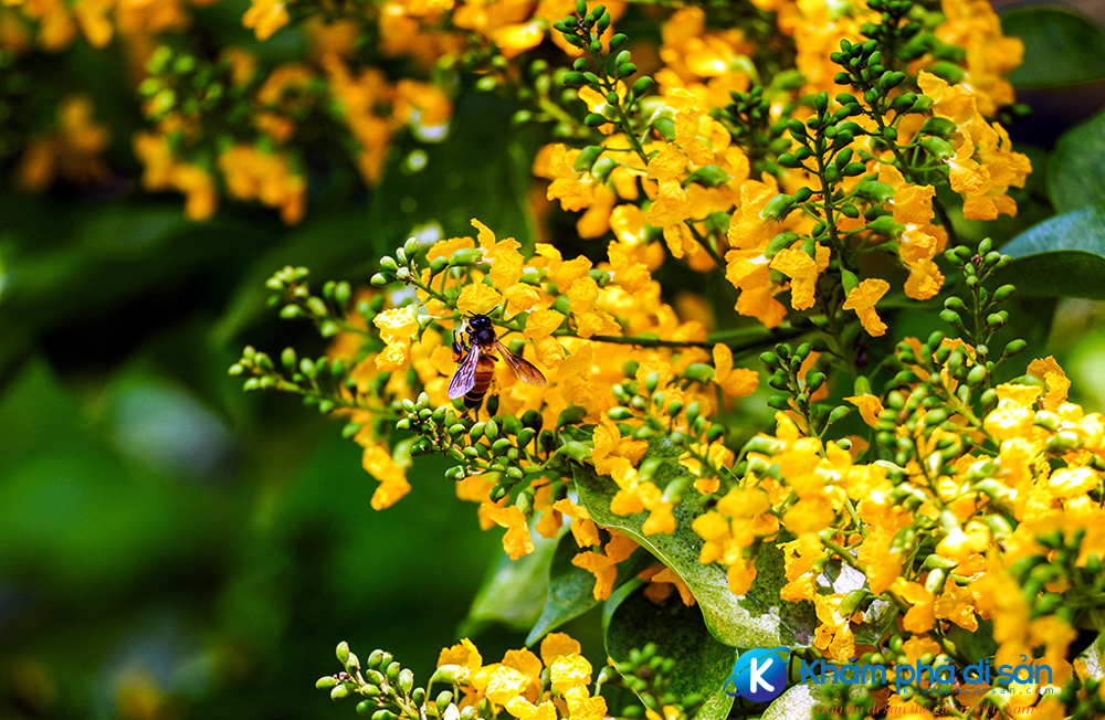 nhung con duong hoa sua ruc vang o quang nam khamphadisan 2