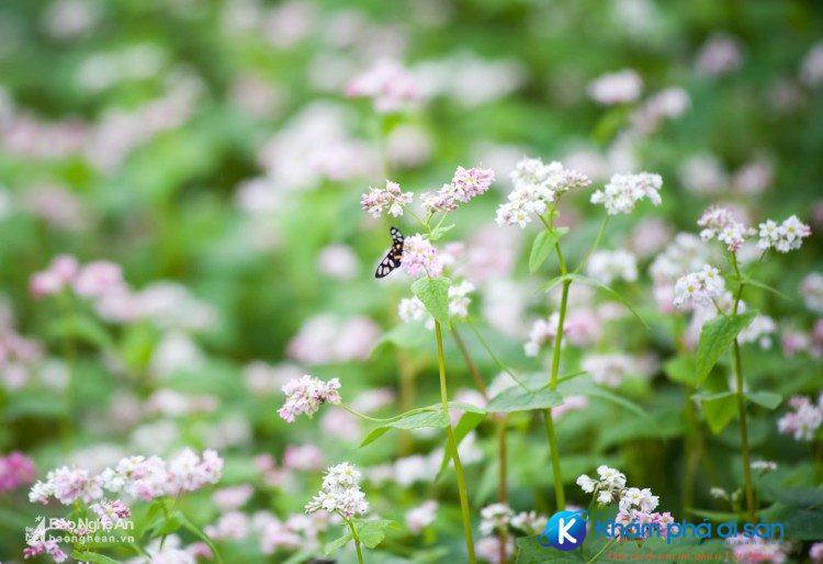 hoa tam giac mach nghe an khamphadisan 4 1