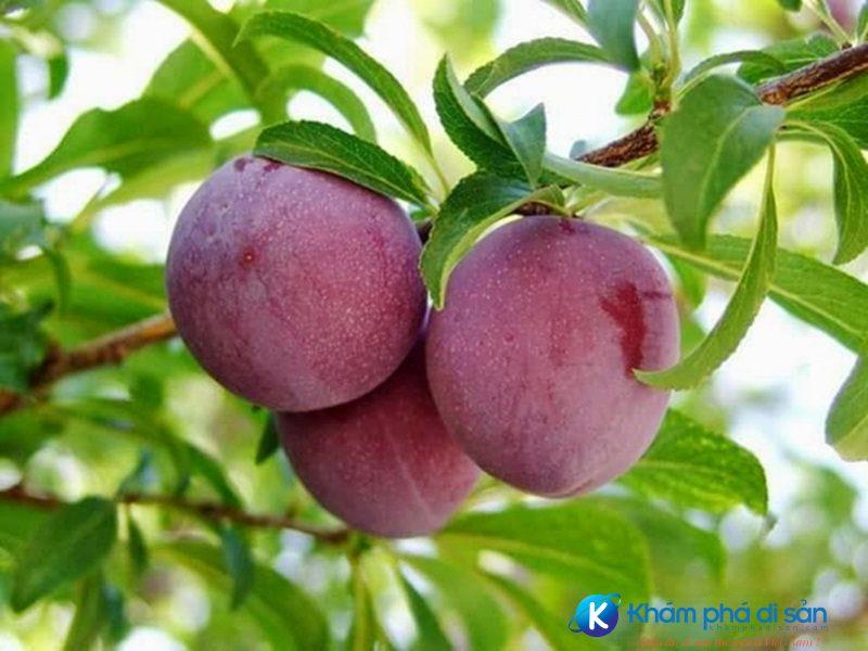 Cao nguyên Mộc Châu mùa trĩu quả