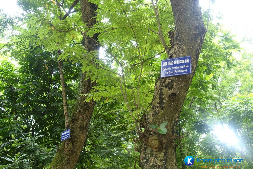 Dalbergia tonkinensis Hanoi Botanical Garden Hanoi Vietnam DSC03637 min